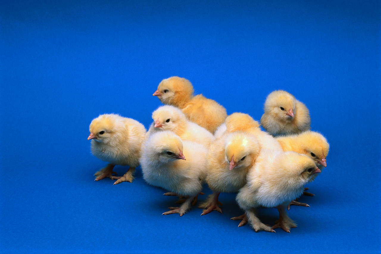Chick pic